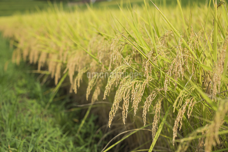稲作の写真素材 [FYI00042330]