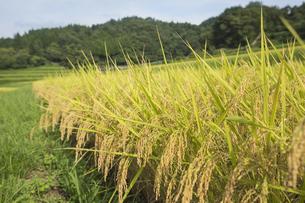 稲作の写真素材 [FYI00042331]