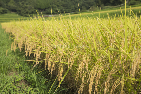 稲作の写真素材 [FYI00042334]