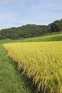 稲作の写真素材 [FYI00042336]