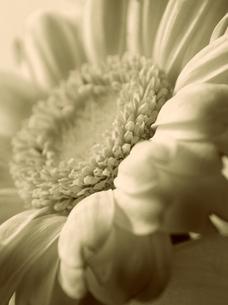 セピア色の花の素材 [FYI00042884]