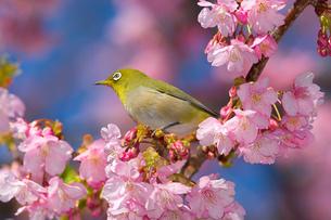 河津桜とメジロの写真素材 [FYI00042905]