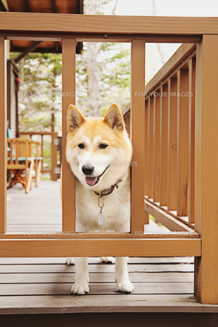 柴犬の素材 [FYI00042906]