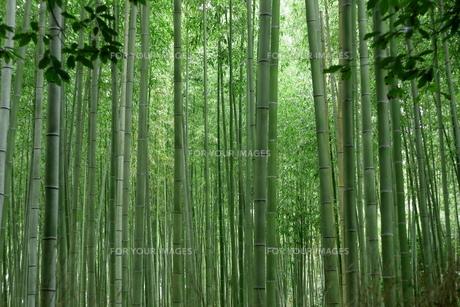 竹林の素材 [FYI00042909]