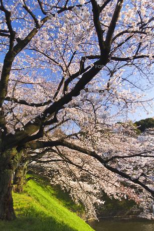 桜の木の素材 [FYI00042936]