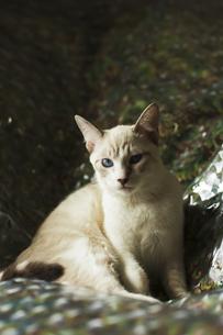 くつろぐ猫の素材 [FYI00042953]