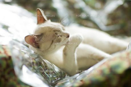くつろぐ猫の素材 [FYI00042964]
