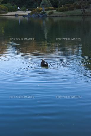 池で泳ぐ鴨の素材 [FYI00042972]