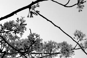 桜の素材 [FYI00043023]