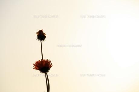 花の素材 [FYI00043024]