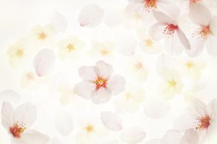桜の素材 [FYI00043146]