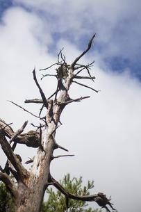 枯れ木の素材 [FYI00043177]