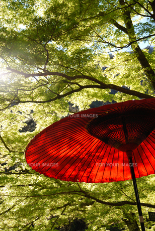 新緑と和傘の写真素材 [FYI00043262]