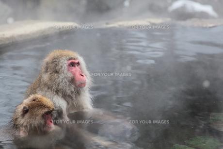 温泉猿の写真素材 [FYI00043269]