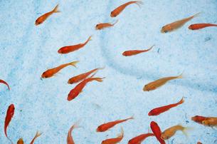 泳ぐ金魚の写真素材 [FYI00043273]