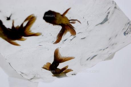 ふくろ金魚の写真素材 [FYI00043615]