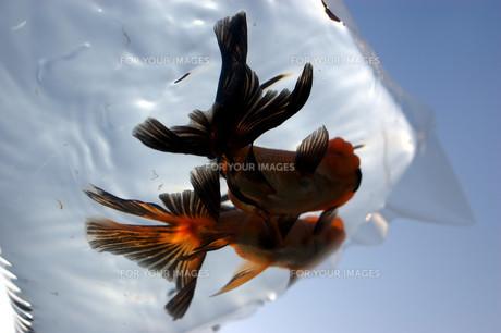 ふくろ金魚の写真素材 [FYI00043624]