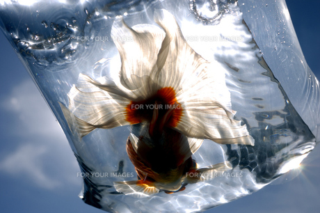 ふくろ金魚の写真素材 [FYI00043629]