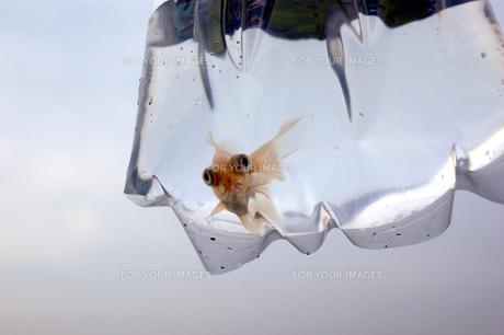 ふくろ金魚の写真素材 [FYI00043630]