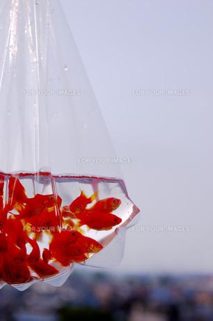 ふくろ金魚の写真素材 [FYI00043631]