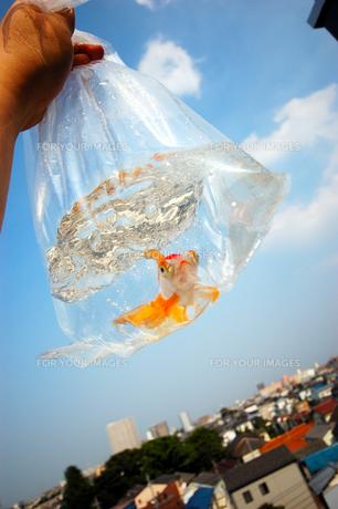 ふくろ金魚の写真素材 [FYI00043632]