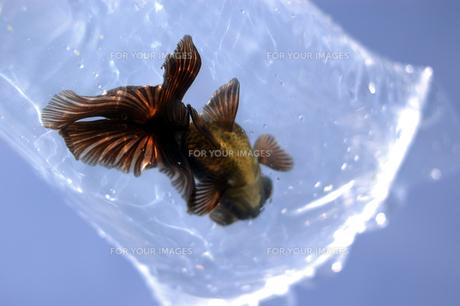 ふくろ金魚の写真素材 [FYI00043633]