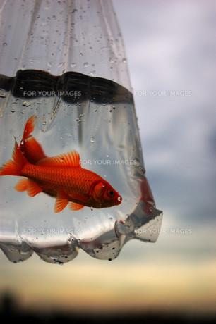 ふくろ金魚の写真素材 [FYI00043634]