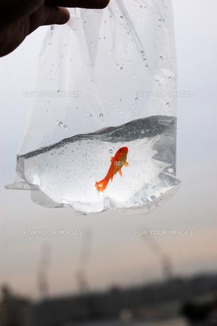 ふくろ金魚の写真素材 [FYI00043635]