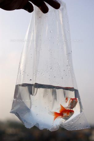 ふくろ金魚の写真素材 [FYI00043636]