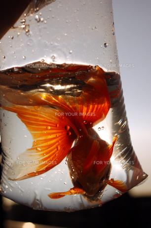 ふくろ金魚の写真素材 [FYI00043637]
