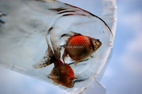 ふくろ金魚の写真素材 [FYI00043638]
