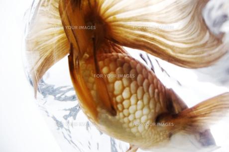 ふくろ金魚の写真素材 [FYI00043639]