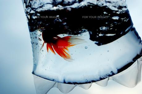 ふくろ金魚の写真素材 [FYI00043641]
