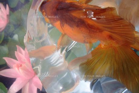 ふくろ金魚の写真素材 [FYI00043642]