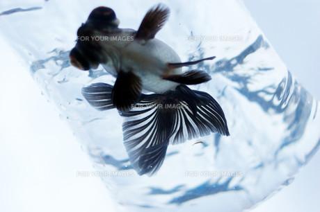 ふくろ金魚の写真素材 [FYI00043643]