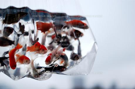 ふくろ金魚の写真素材 [FYI00043647]