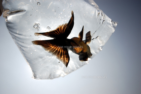 ふくろ金魚の写真素材 [FYI00043648]