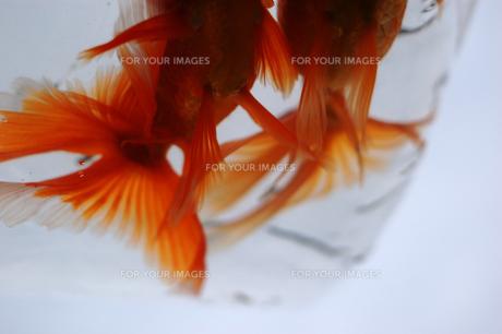 ふくろ金魚の写真素材 [FYI00043651]