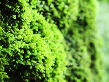 苔の写真素材 [FYI00043683]