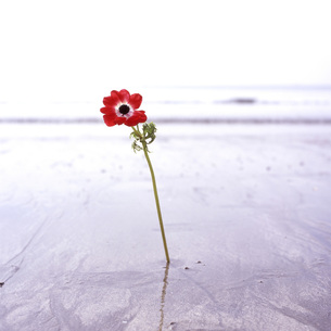 海に赤いアネモネの素材 [FYI00043707]
