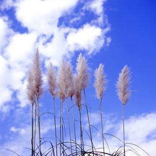 空を背にしたススキの素材 [FYI00043710]