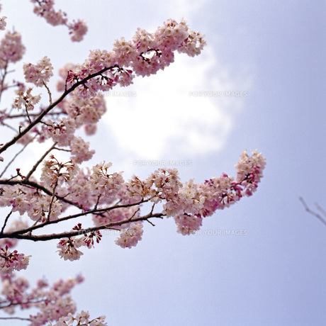 青空の桜の素材 [FYI00043786]