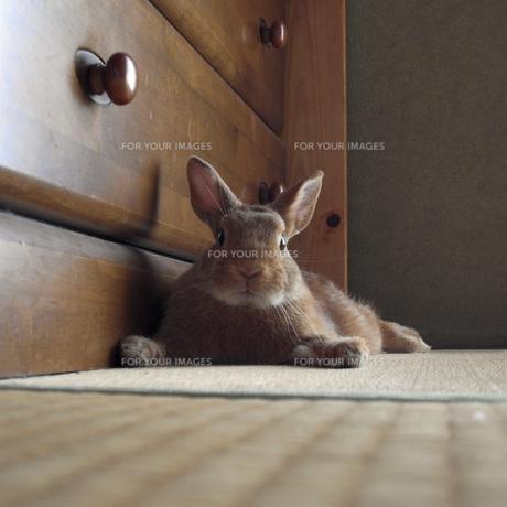 室内のウサギの素材 [FYI00043789]