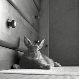 室内のウサギ 2の素材 [FYI00043790]