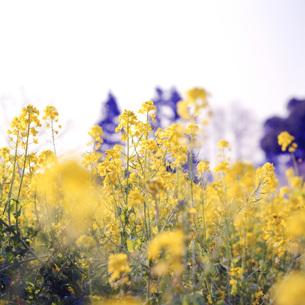 菜の花の素材 [FYI00043793]