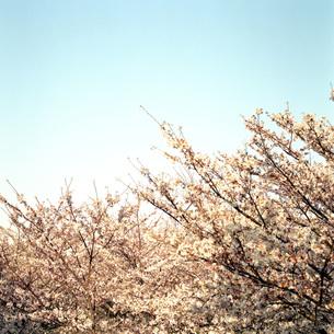桜⑤の素材 [FYI00043797]