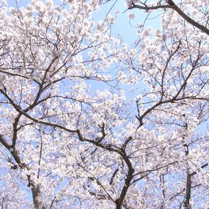 桜と枝の素材 [FYI00043802]