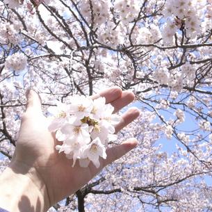 桜と手の素材 [FYI00043803]