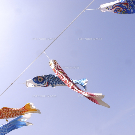 鯉のぼり③の素材 [FYI00043812]
