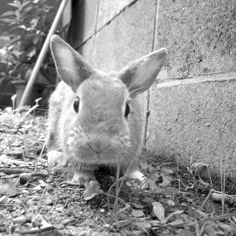 庭で遊ぶウサギの素材 [FYI00043815]